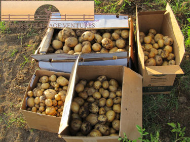 The First Potato Harvest