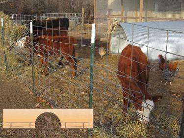 Moving Calves & Feeding the Rams