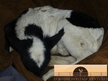 Tubing a lamb