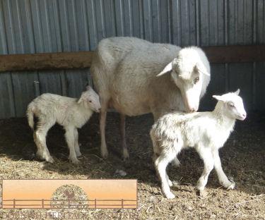 Twin Ewe Lambs from Cybele :)