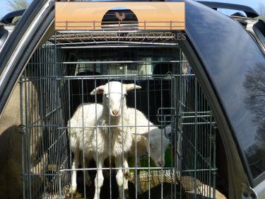 Transporting the ewe lambs!