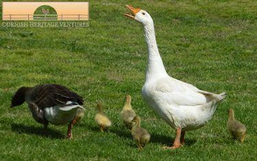 Goslings!